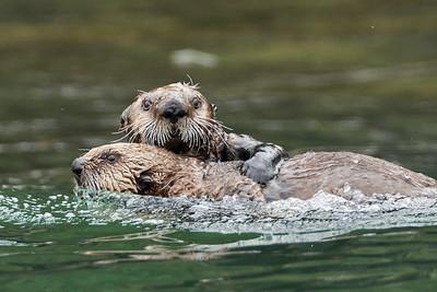 Sea Otters at Play 2