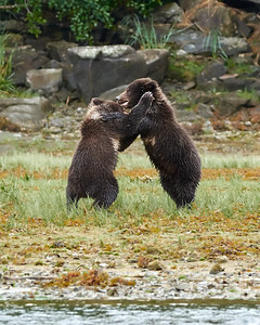 Brown Bear Cubs at Play