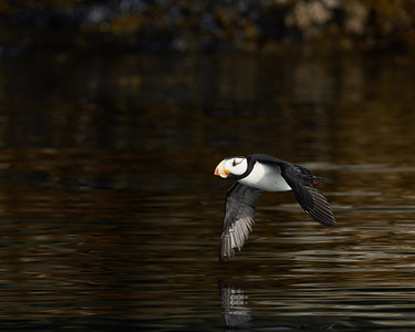 Horned Puffin in Flight 2
