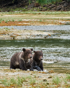 Young Brown Bear Cubs 1