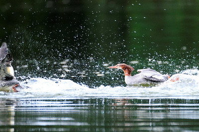 Merganser Ducks-- Frenzy