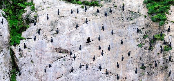 Cormorants -- Geometry in Nature