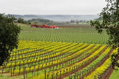 Napa Valley Landscape in Winter Fog 1