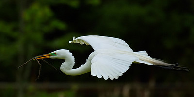 Egret at Audubon Swamp  near Charleston, SC - 3