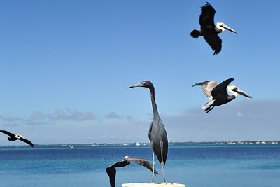 Longboat Key, blue heron and pelicans