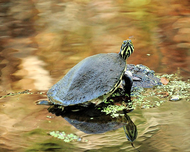 Myakka River State Park, Turtle and damsel fly