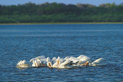 Myakka River State Park, white pelicans fishing