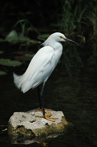 Everglades National Park, Egret