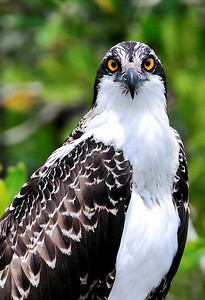 Osprey, Everglades National Park