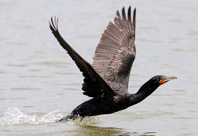 Everglades National Park, Cormorant