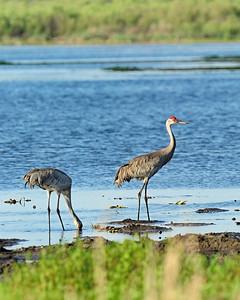 Myakka River State Park, Sandhill Crane