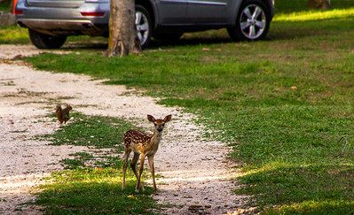 Notice how tiny this fawn is compared to the size of the car in the background!  Soooo cute!!!
