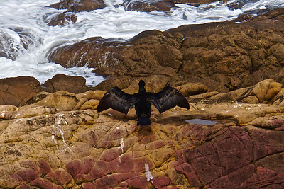 Cormorant Cambria Moonstone Beach