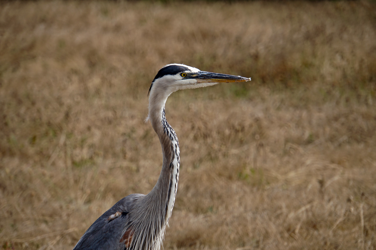 Great Blue Heron Cambria