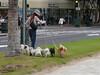 dog walker in Waikiki Beach
