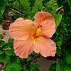 Salmon Hibiscus Flower
