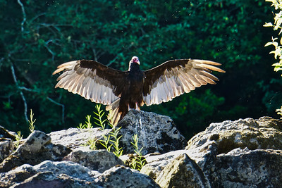 Rogue River Turkey Vulture
