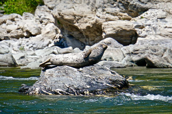 Rogue River Harbor Seal