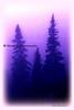 blue pines_002blpnkoil