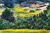 Wild Mustard Views_002