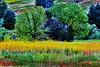 Wild Mustard Views_003