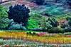 Wild Mustard Views_004