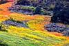 Wild Mustard Views_005p