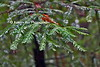 wet pines_002p