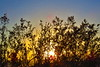 sunset tree mesquite_002_F