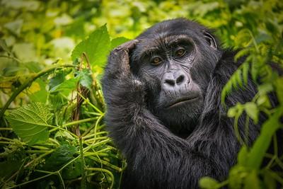 Portrait of a Female Mountain Gorilla