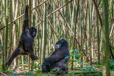 A rare view of family behavior, as a male silverback mountain gorilla watches his son playfully swinging on a vine in a bamboo forest in Rwanda. The son looks pretty happy.