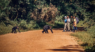 Shows that ecotourism has habituated the park's wild chimpanzees to humans, as two chimps choose to cross a road in close proximity to tourists and park staff.