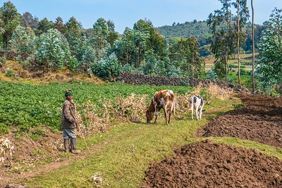 A boy herds cattle through former mountain gorilla habitat, which has been replaced by cleared forest, walls, and vegetable gardens.