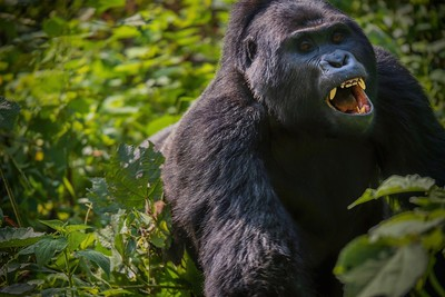 Charge! A rare view of a silverback mountain gorilla charging at a younger male (offscreen).