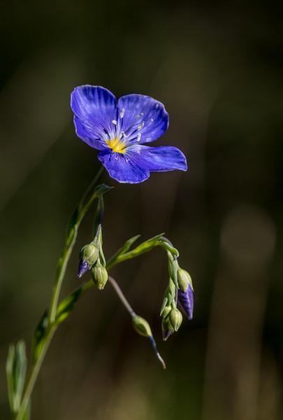 Wild Blue Flax flower