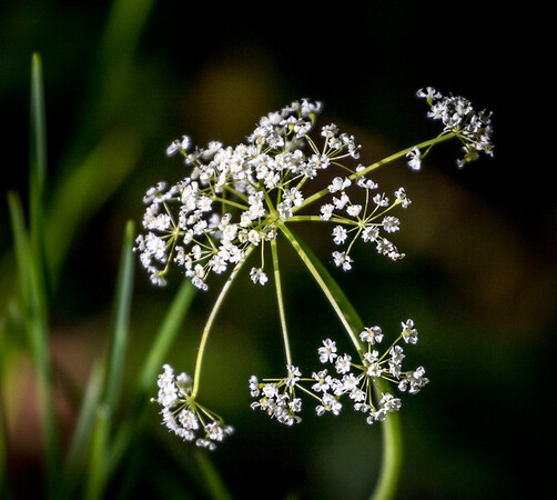 Licoriceroot flower