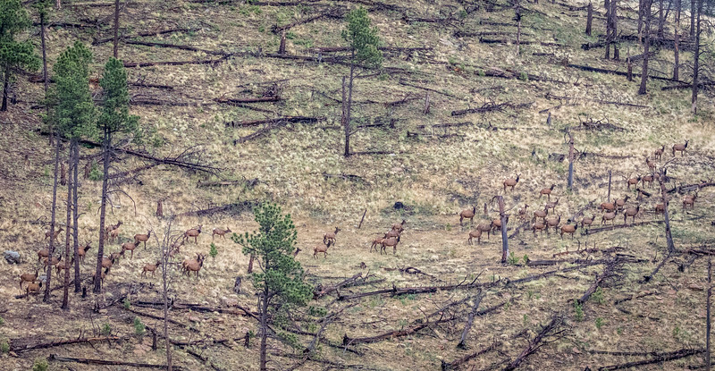 Elk herd passing through