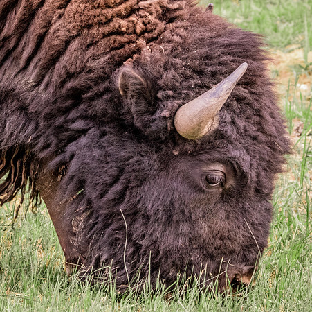 Bison headshot