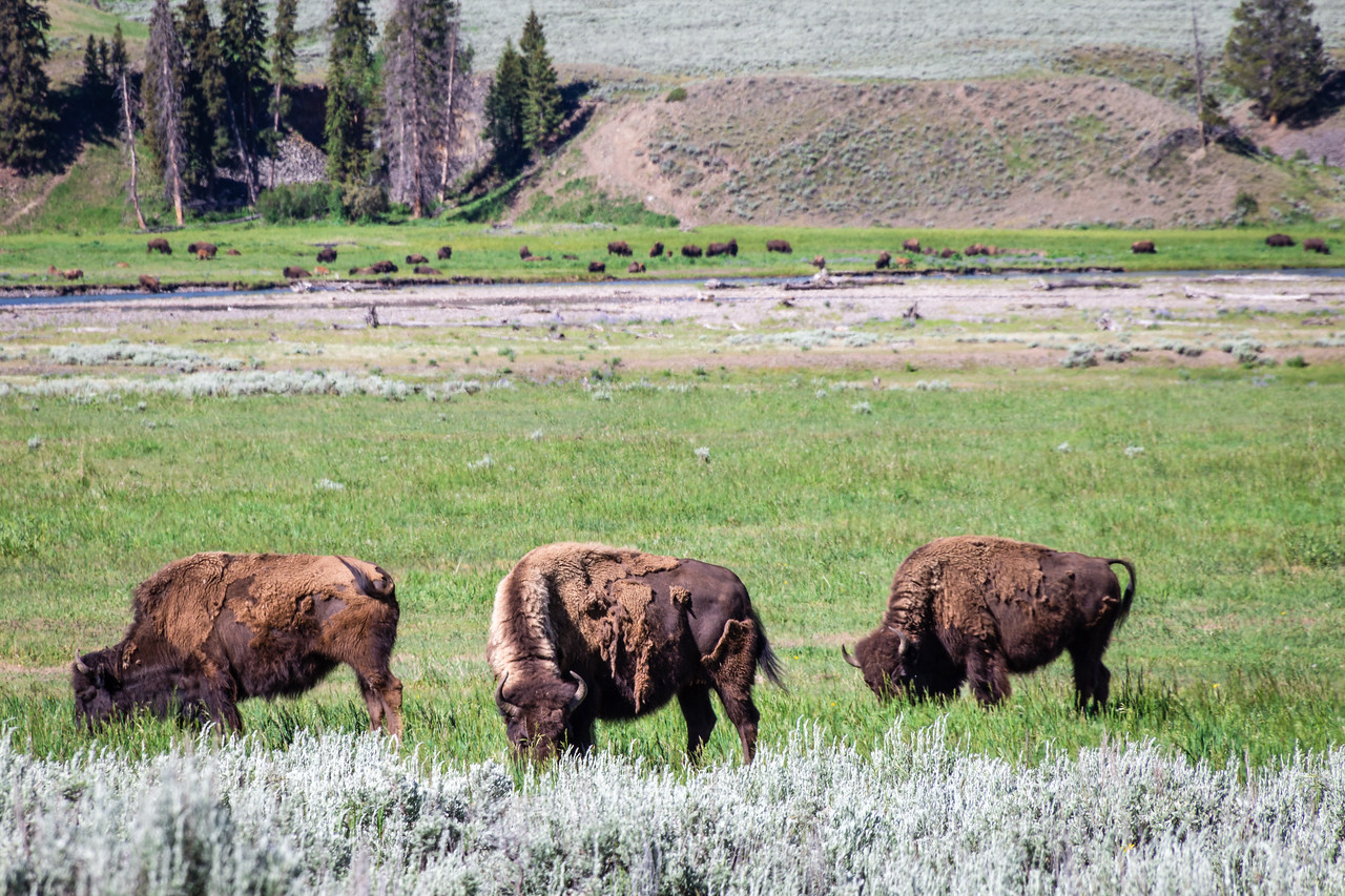 Bison with herd in background