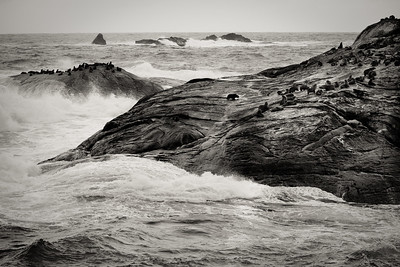Fur Seals seeking shelter from the turbulent Tasman Sea near the mouth of Doubtful Sound