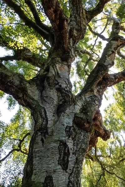 Old birch, Royal Botanical Gardens, Edinburgh, 06-28-2018