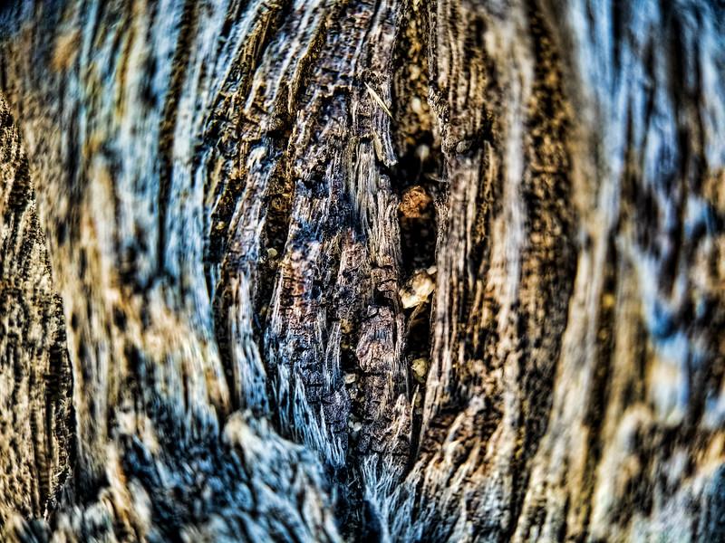 Acorns stuck in the tree trunk