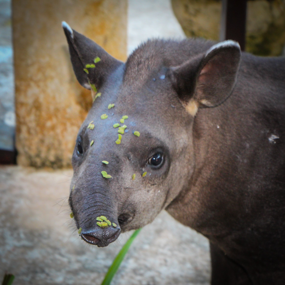 My friend teh tapir drinks through his nose like an elephant