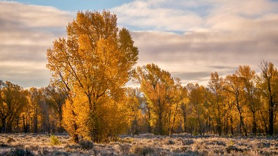 A beautiful autumn landscape, with backlit cottonwood trees looking golden in early morning sun.
