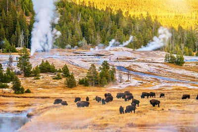 A sunset landscape scene at the Upper Geyser Basin at Yellowstone National Park, where steam rises from several geyser vents and hot springs near a forest of lodgepole pine trees, and a herd of bison is grazing.