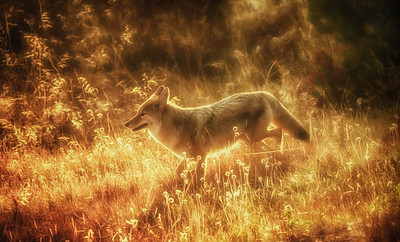 Golden Coyote