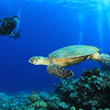 Hawksbill Turtle and Scuba Divers on coral reef in the Red Sea