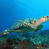 Hawksbill Turtle (Eretmochelys imbricata) - Cozumel, Mexico