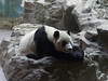 giant panda behind glass