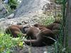 sleeping otters